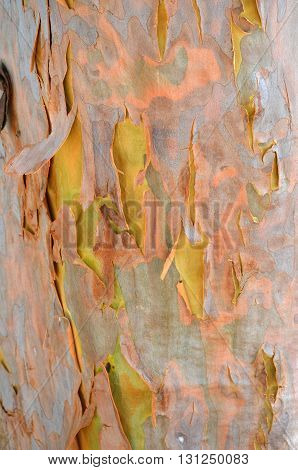 Australian gumtree shedding its colourful pink and lilac winter bark to reveal fresh green and yellow spring bark