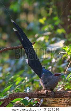 Beautiful Of Green Billed Malkoha In Nature