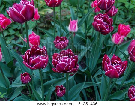 Tulips blooming in the city park in the spring in the month of May