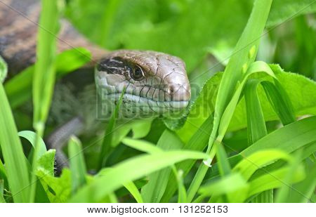 Australian Blue Tongue Lizard crawling through grass