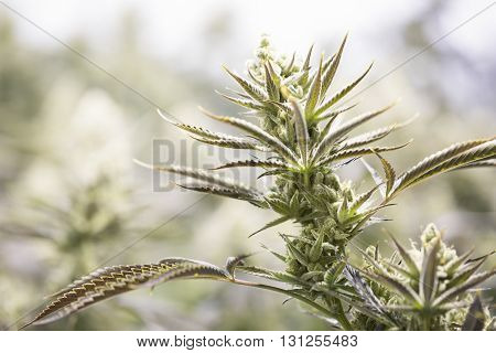 Marijuana Flowering Buds ( Cannabis), Hemp Plant. Very Large Indoor Weed Harvest.