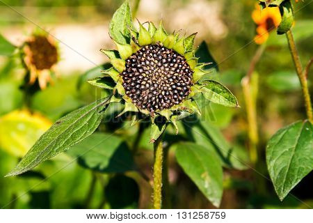 Mature sunflower in the field close up