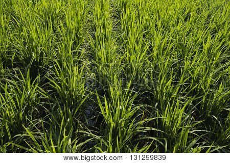 Close-up of rice plants in a rice paddy in Penang Malaysia