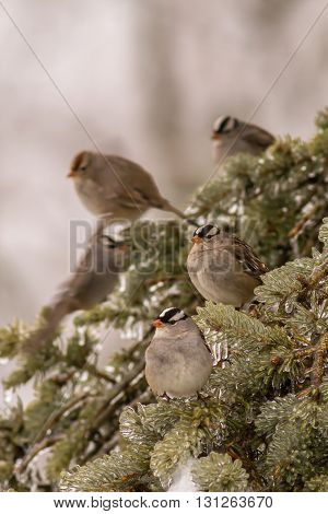A group of white-crowned sparrows. Taken in Kentucky.