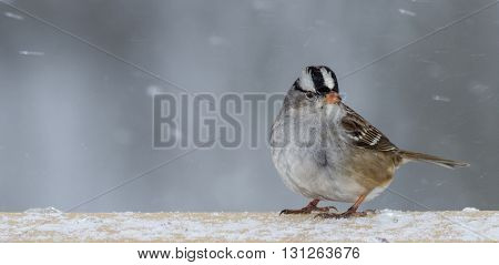 A white-crowned sparrow in the winter. Taken in Kentucky.