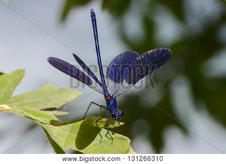 Blue dragonfly with open wings, close-up, isolated.