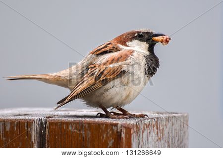 Sparrow eating maggot on wood, close-up, isolated.