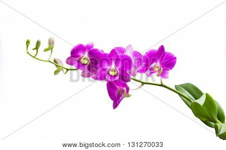 Bright purple orchid on a white background.