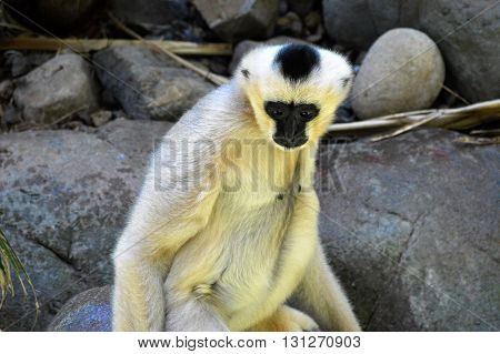 An adult white Gibbon with black face