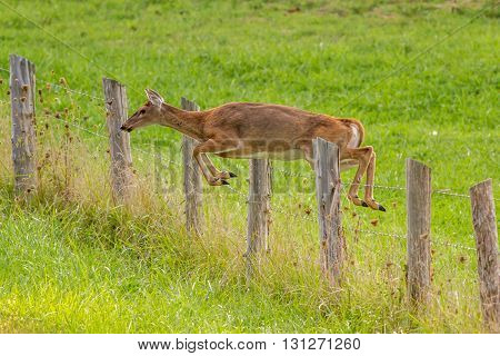 White-tailed deer jumping a fence. Taken in Kentucky.