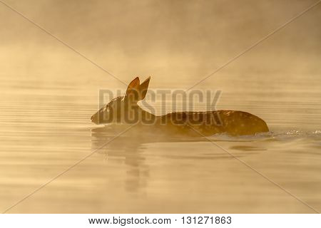 A young white-tailed deer swimming. Taken in Kentucky.