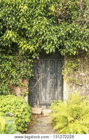 Old faded door surrounded by overgrown ivy