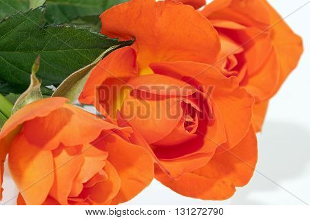 Three Brightly Colored Red Roses And Green Leaves