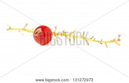 Single berry of ripe Red Currant on branch isolated over white background