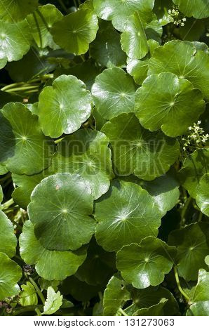 Centella asiatica is a herb plant in Thailand.