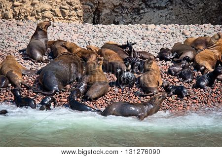 Seal On Ballestas Islands, Paracas. Peru