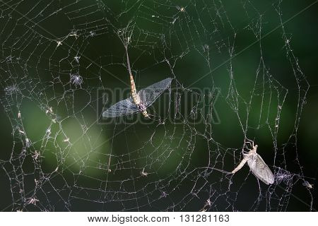 Dead Mayflies (Ephemera vulgata) caught in a damaged spiders web.
