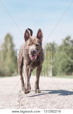 Grey adult thai riidgeback dog alone on the summer country road