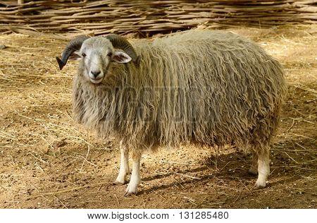 Big horned ram in the paddock. Sheep farm animal