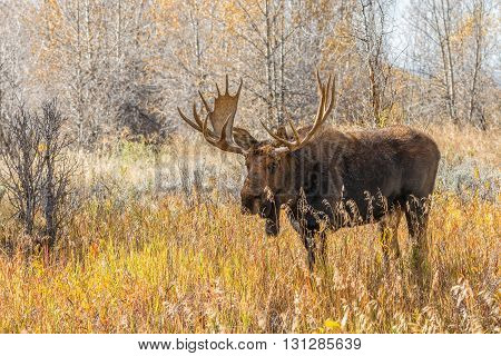 a nice bull shiras moose in fall