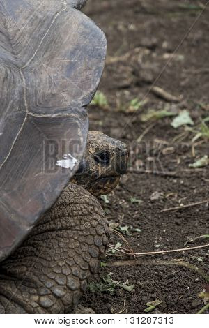 Close up of large Galapagos Giant Tortoise
