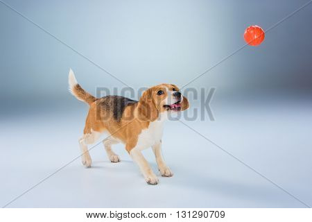 The beagle dog with red ball on gray background