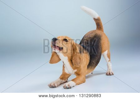 The beagle dog sitting on gray background