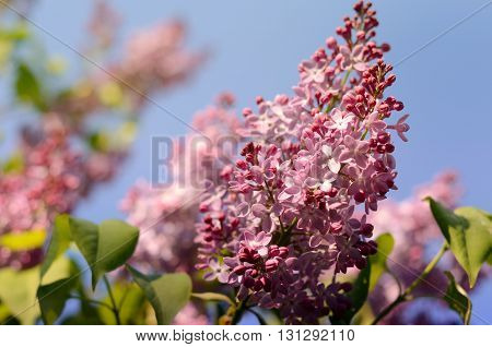 Lilac flower under the blue sky. Spring flowers outdoor