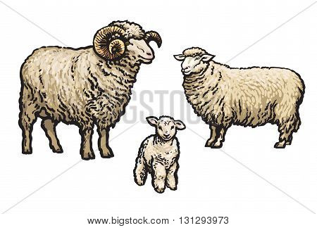 White sheep isolated, sketch vector illustration drawn by hand, isolated on a white background, a man woman and child a sheep, a flock of sheep, farm animals, cloven-hoofed livestock