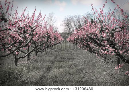 Alley of blooming apricot trees on a black and white background