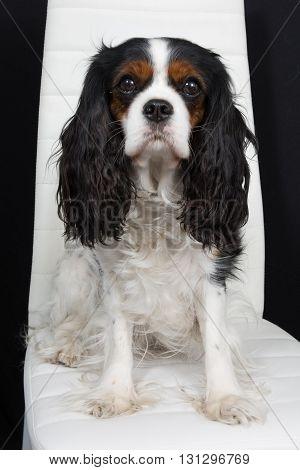 Cavalier King Charles Spaniel Nice Dog Posing