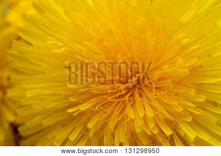 Dandelion close up. Spring flower background. Close up view