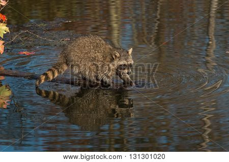 Raccoons (Procyon lotor) Splashes in Water - captive animal