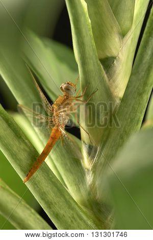 Thre dragonfly on the green leaf .