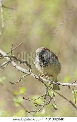 Spring sunny day sparrow sitting on a tree branch