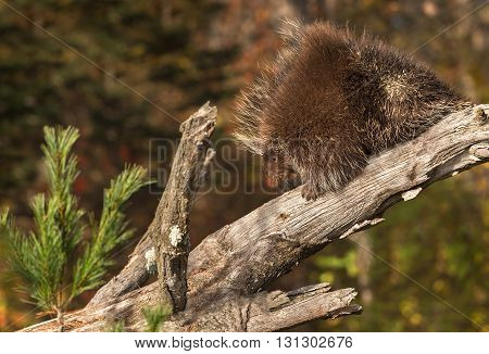 Porcupine (Erethizon dorsatum) Climbs Down Branch - captive animal