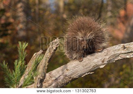 Porcupine (Erethizon dorsatum) and Pine - captive animal