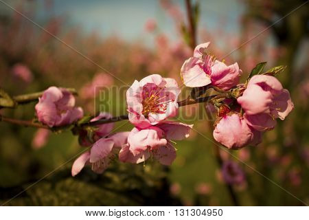 Blurred background. Branches with beautiful pink flowers Peach against the blue sky
