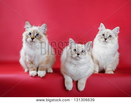 group of neva masquerade kitten on red background.