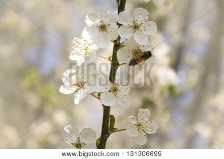 cherry branch blossoms in spring on blurred background