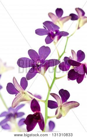 Purple orchid isolated on the white background ,flower isolated on the white background