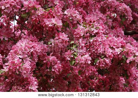 A full frame image of cherry tree blossoms.