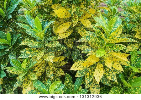Closwup surface green and yellow leaves background