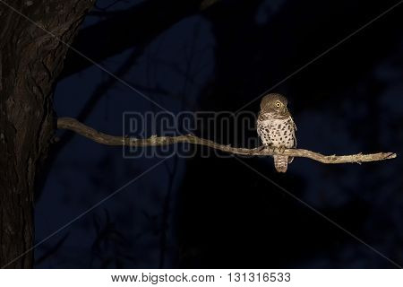 Barred owlet sitting on a branch in the darkness