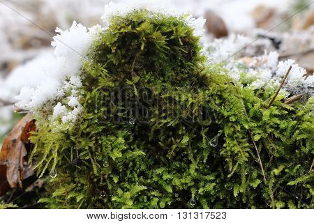 Moss in Winter in the Borec hill - natural attraction