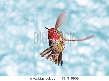 Male Annas Hummingbird in Flight, showing its beautiful gorget,  green background