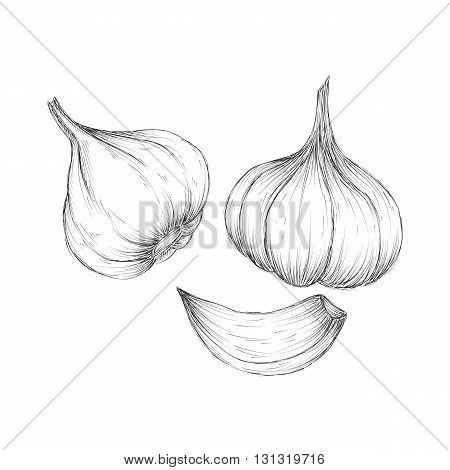 Vector hand drawn set of garlic Herbs and spices sketch illustration
