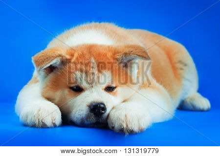 Cute Japanese Akita Inu Dog studio portrait .