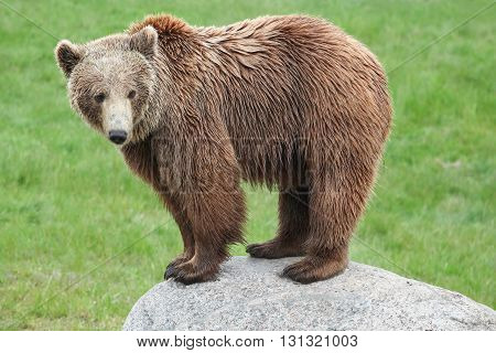 A brown bear standing on a rock