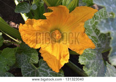 Squash Yellow  Blossom